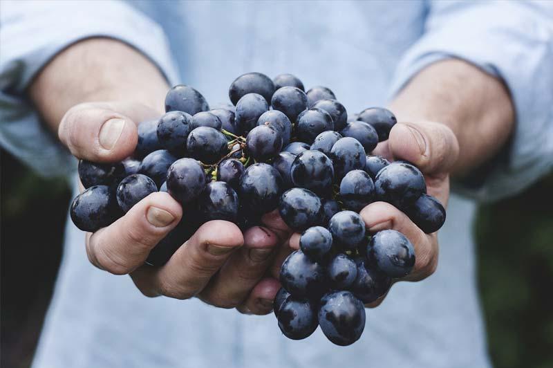 Cure ou monodiète raisin